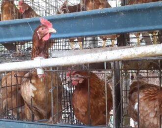 Ahold Delhaize verkoopt kooi-eieren in Indonesië