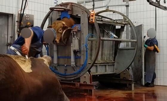 Koe overdoofd slachten