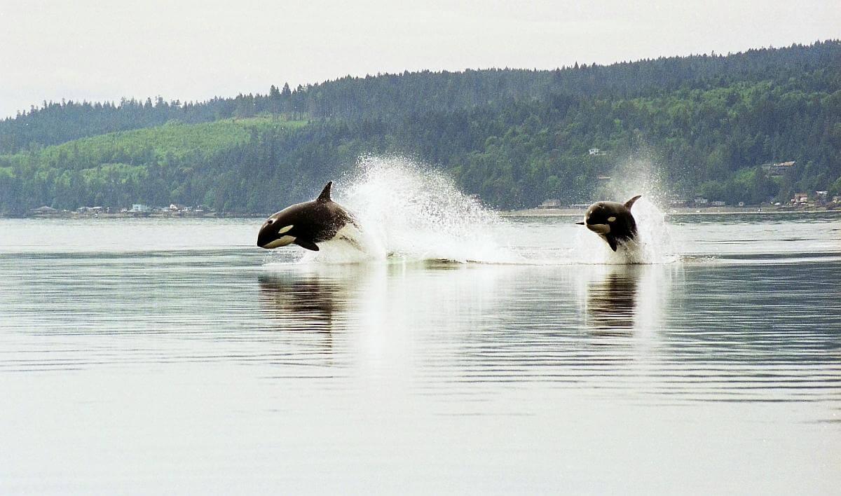 orka's die boten aanvielen speelden