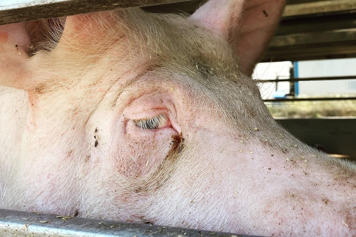De realiteit van de varkensindustrie