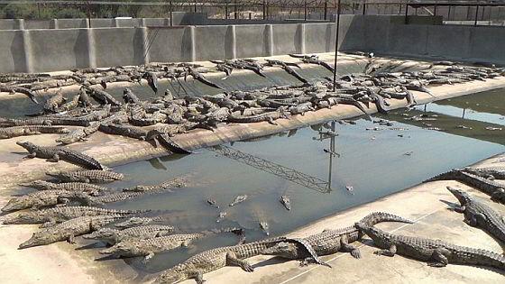 Krokodillenfokkerij
