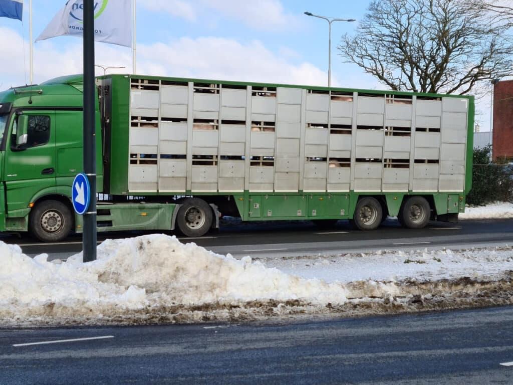 De ijzige hel voor dieren op weg naar het slachthuis