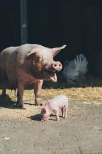 House-of-Animals-Varken-Sam-met-big