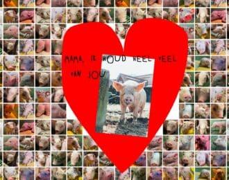 In de vee-industrie is geen plek voor moederliefde